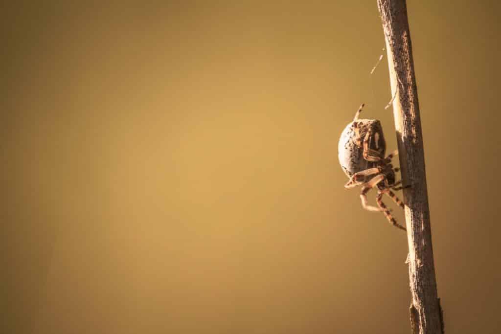 Spinne - Brieskow Finkenheerd