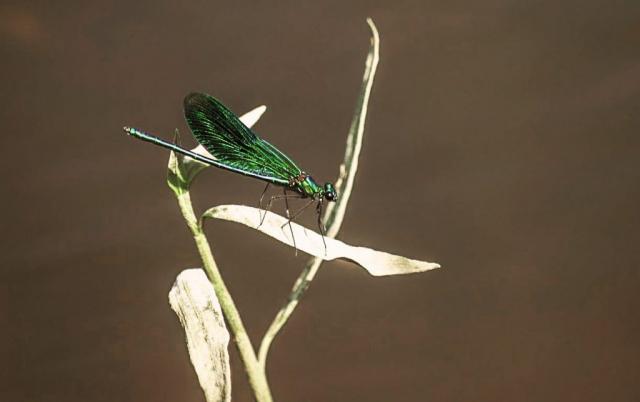 Libelle - Oderufer